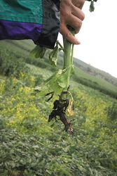 Stoney Littleton : the stem of the broad bean was bent at the level of the root (in the ground)