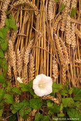 Les liserons qui ont poussé sur les blés couchés indiquent que la création du glyphe date déjà de plus d'une semaine