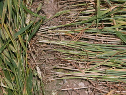 Laid down wheat stems - Lockeridge - July 2008