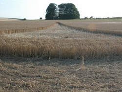 "The ""needle"" of the crop circle points to the mound with trees"